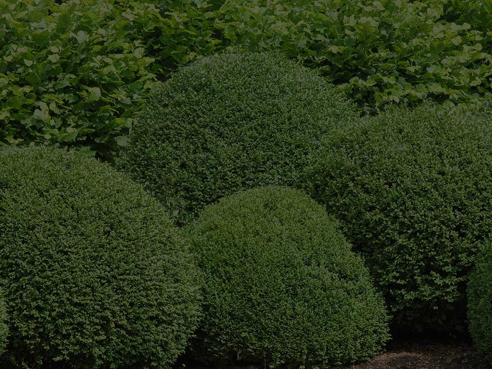 Readington Shrubs and Hedges